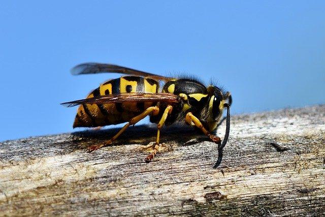 Eine Wespe auf einem Stück Holz.
